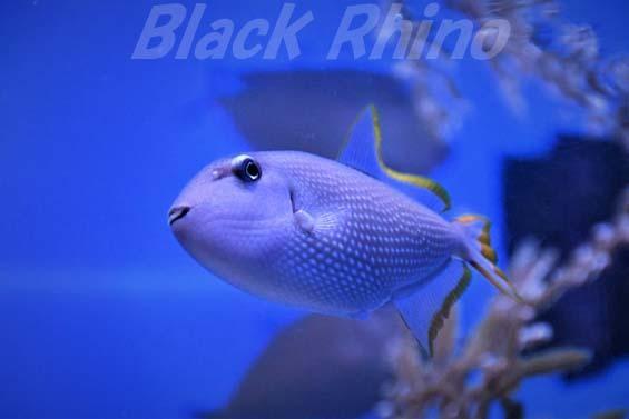ホシモンガラ01 美ら海水族館