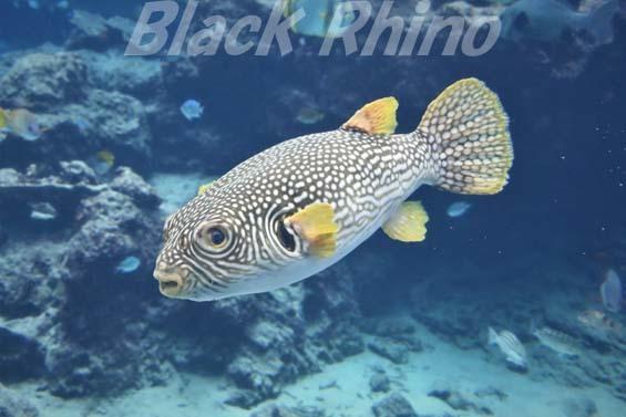 ワモンフグ01 美ら海水族館