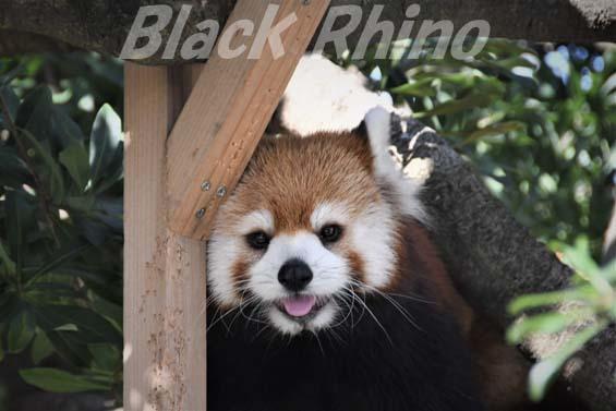 シセンレッサーパンダ01 福岡市動物園