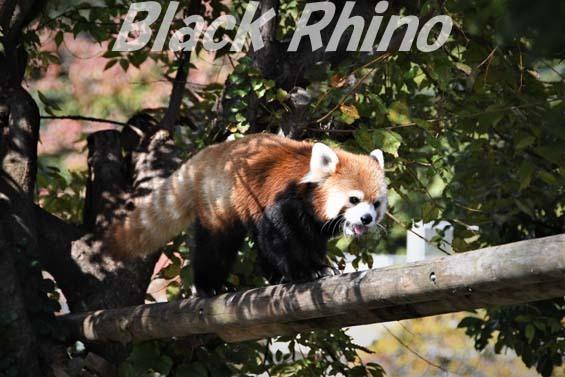 シセンレッサーパンダ02 福岡市動物園