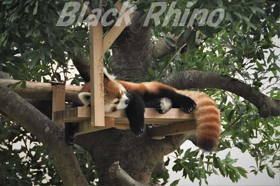シセンレッサーパンダ03 福岡市動物園