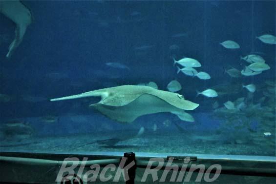 イバラエイ02 美ら海水族館