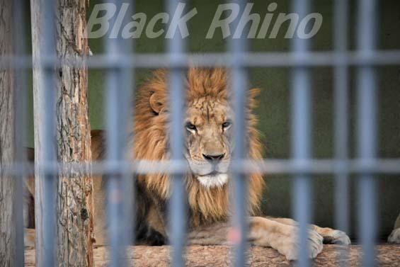ライオン01 わんぱーくこうちアニマルランド