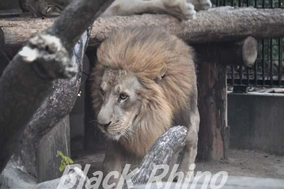 ライオン03 わんぱーくこうちアニマルランド