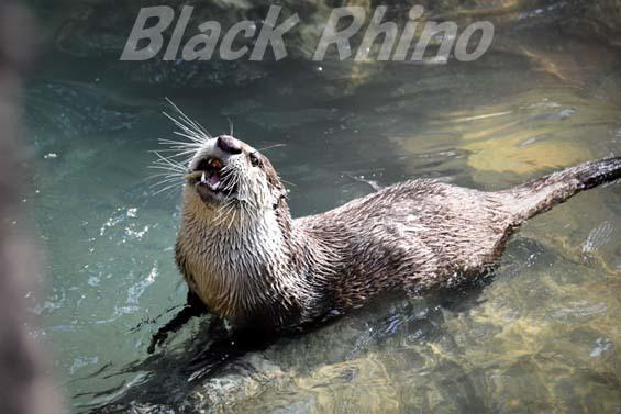 ツメナシカワウソ02 高知県立のいち動物公園