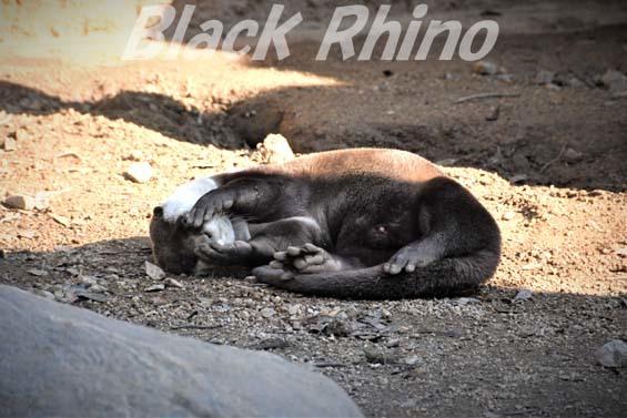 ツメナシカワウソ06 高知県立のいち動物公園