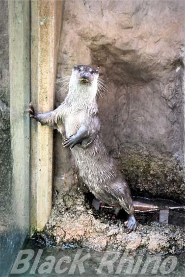 ユーラシアカワウソ01 高知県立のいち動物公園