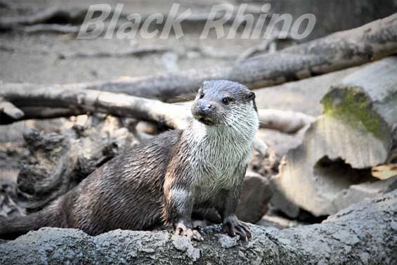 ユーラシアカワウソ03 高知県立のいち動物公園