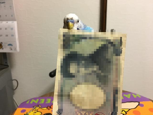 インコ セキセイインコ 空色のセキセイ珠霞 空色インコ 空色のセキセイ Corel PaintShop Pro 紙幣