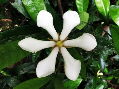 190515-2=クチナシの花 a庵前庭