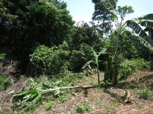 190816-41=倒れたバナナの樹 a庵果樹園