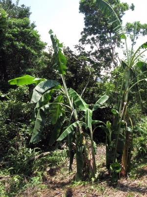 190816-42=倒れたバナナの樹起こし a庵果樹園