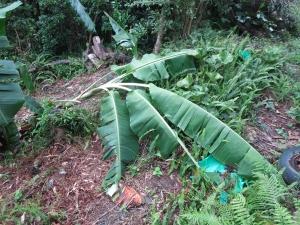 190825-1=倒れたバナナの樹 a庵果樹園