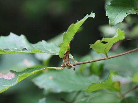 ホソバシャチホコ幼虫