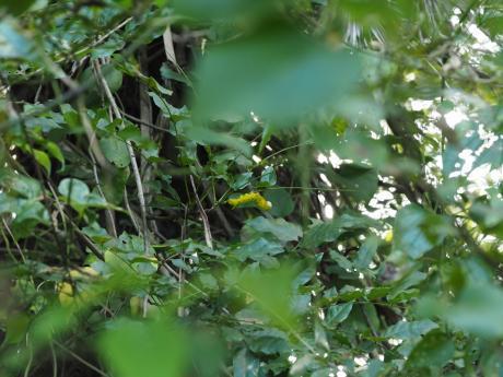モモスズメ幼虫黄色型か