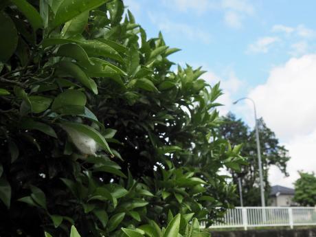 ゲホウグモ卵嚢2