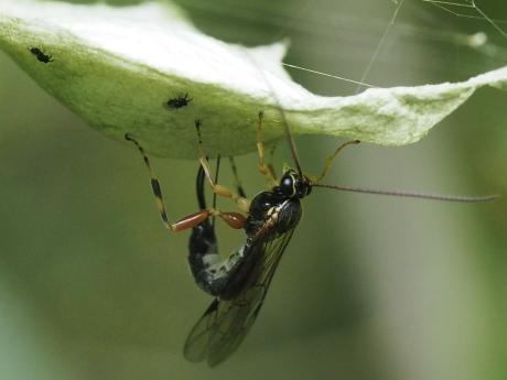 ニッポンヤドリヒラタヒメバチ産卵9