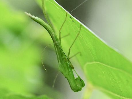 トビナナフシ幼虫脱皮2