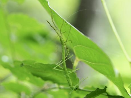 トビナナフシ幼虫脱皮4