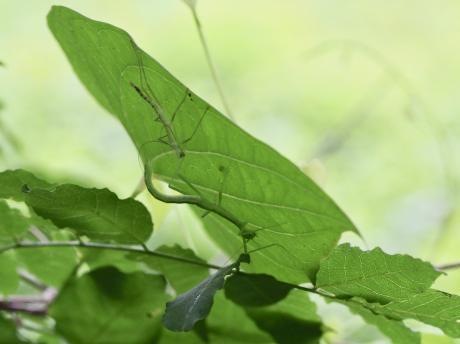 トビナナフシ幼虫脱皮5