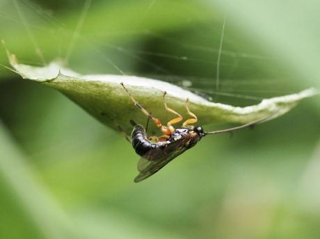 ニッポンヤドリヒラタヒメバチ産卵4