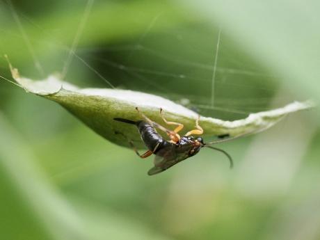 ニッポンヤドリヒラタヒメバチ産卵6