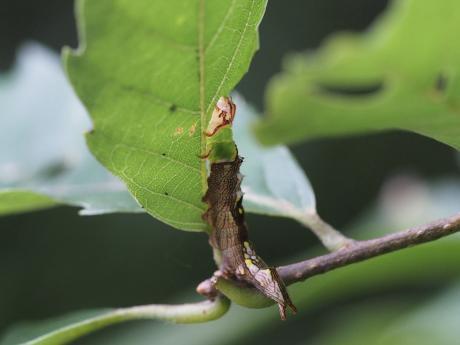 ホソバシャチホコ幼虫2