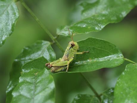ヤマトフキバッタ幼虫か