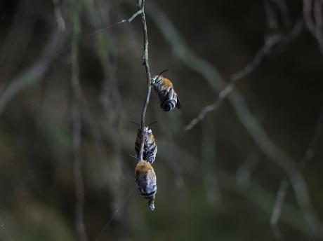 スジボソコシブトハナバチ2