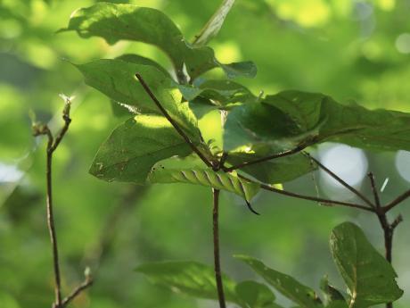 コエビガラスズメ幼虫