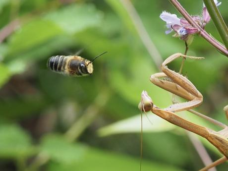 スミスハキリバチか&カマキリ幼虫