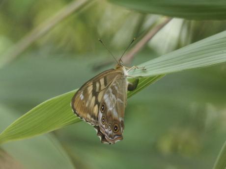 ヒメキマダラヒカゲ産卵