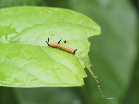 イシガケチョウ幼虫