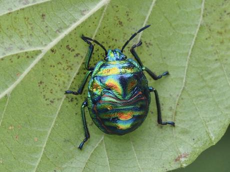 ニシキキンカメムシ幼虫2