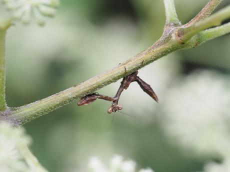 サツマヒメカマキリ幼虫