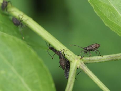 カメムシ幼虫