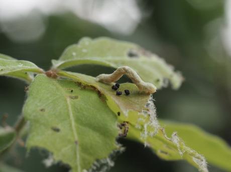 ヒメカギバアオシャク幼虫