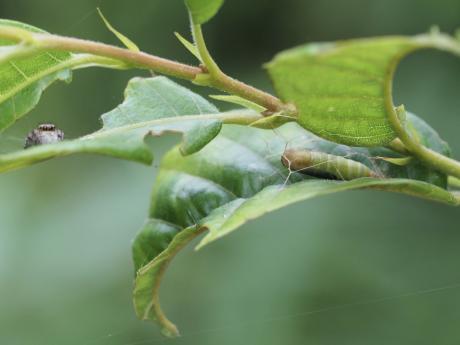 ヒメカギバアオシャク蛹