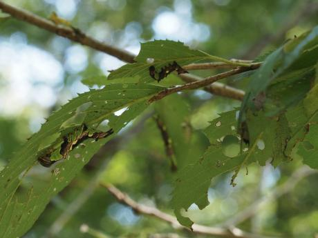 モンクロギンシャチホコ幼虫