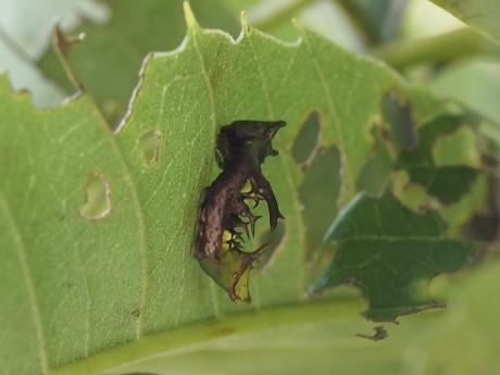ギンシャチホコ幼虫2