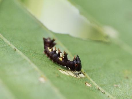 ギンシャチホコ 幼虫