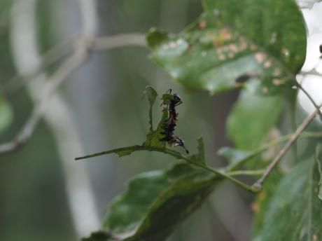 バイバラシロシャチホコ幼虫