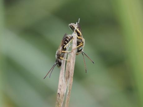 アカガネコハナバチ