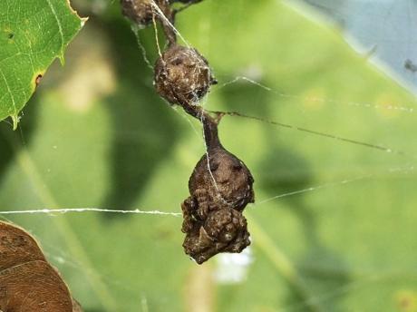 マメイタイセキグモ♀&卵嚢2