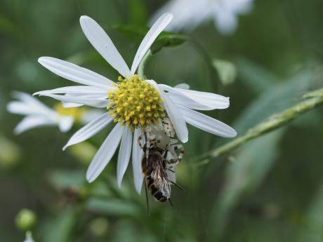 アズチグモ&ハナアブの一種