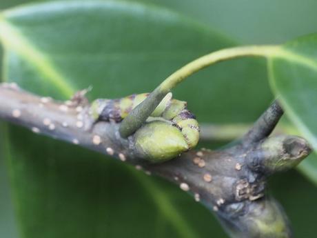 カギバアオシャク幼虫2
