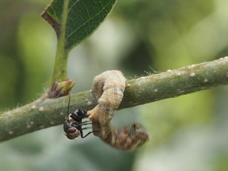 ヒメカギバアオシャク幼虫2