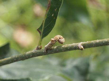 ヒメカギバアオシャク幼虫3