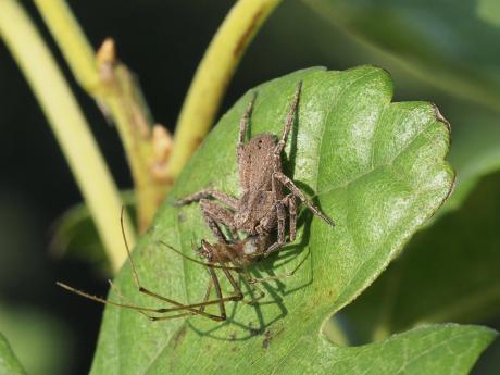 ヤマトヤドリカニグモ&アシナガグモの一種