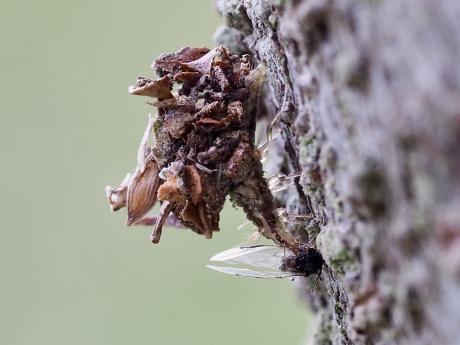 クサカゲロウ幼虫の一種